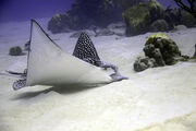 Spotted Eagle Ray Searching for Food