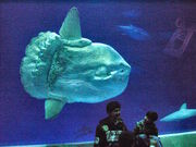 Ocean Sunfish in Monterey Bay Aquarium
