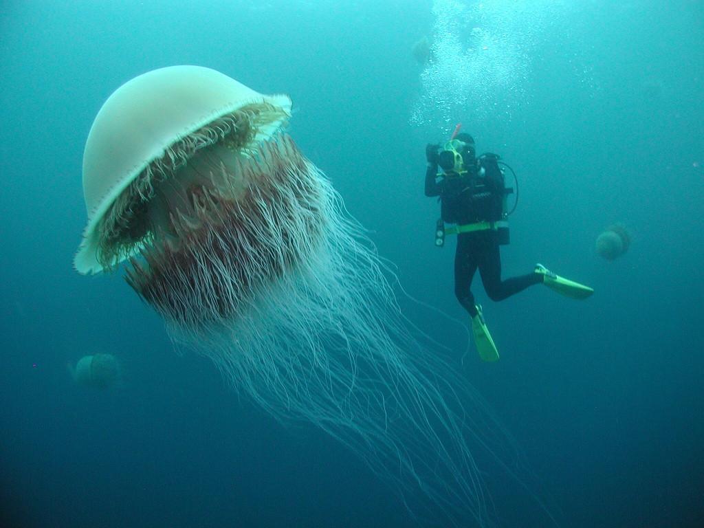 Image result for Nomura's jellyfish