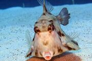 Camel Cowfish Frontal View