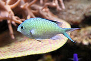 Blue-green Chromis - Real-Life