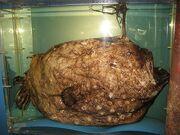 Footballfish exemplar