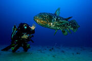 African Coelacanth Size