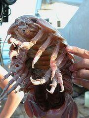 Giant Isopod size comparising