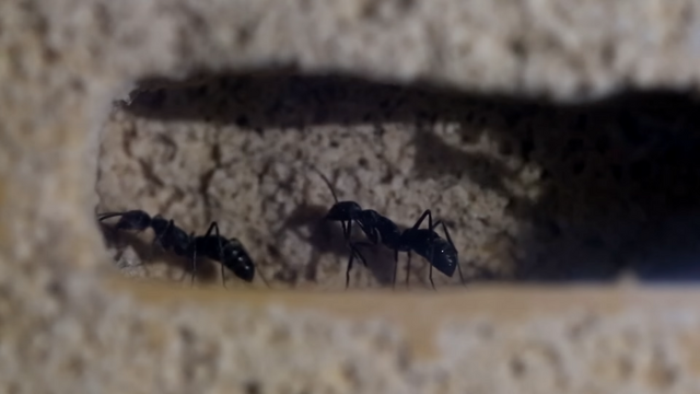 File:The Bullet Ants of Asia.png