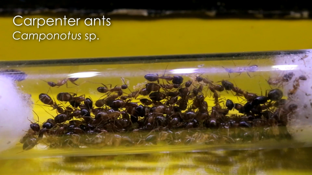 File:The Carpenter Ants (First).png