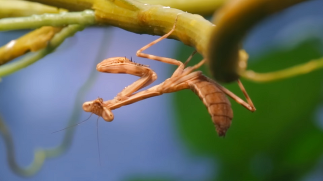 File:The Praying Mantis.png