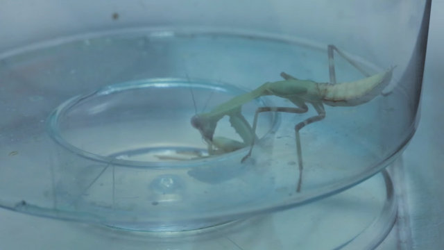 File:The Praying Mantis (COMING BACK HOME TO ANT DISASTER! PLEASE HELP!).png