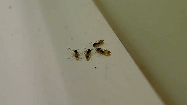 File:The Savage Ghost Ants.png