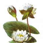Nymphaea alba/Песочница