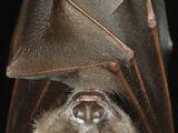 Murciélago de charretera de Buettifoker
