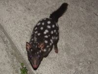 Normal W-Eastern Quoll