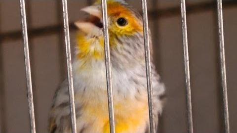 Canario Cantando, agata amarillo mosaico