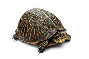 Florida Box Turtle Digon3