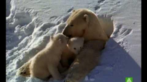 Documental. Osos polares Homenaje a las madres del mundo animal 2 17