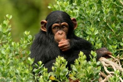 Young Chimp Eating 600