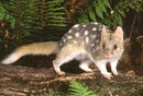 Quoll eastern