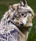 1309080400 mexicanwolf