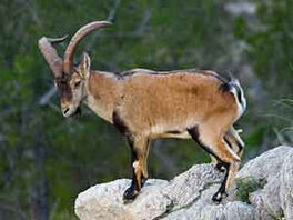 Cabra pirineos