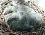 Rock Dove Nestlings