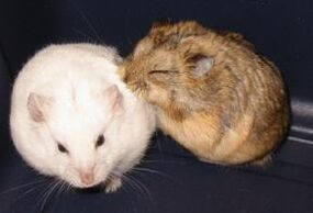 2-hamsters