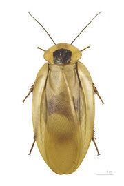 400px-Blaberus giganteus MHNT dos