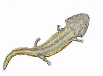 Pelorocephalus