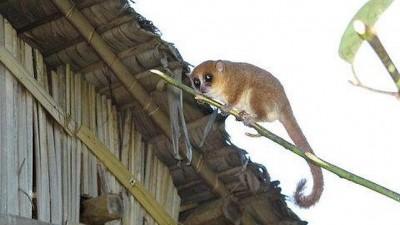 Lemur-raton-madagascar.jpg 400