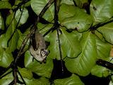 Murciélago nariz de tubo
