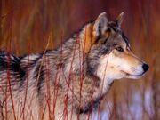 Lobo-gris