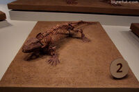 Seymouria amphibian fossil