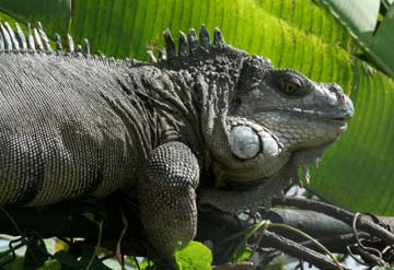 Iguana facts