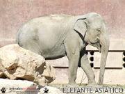 2611080310 elefante asiatico 2