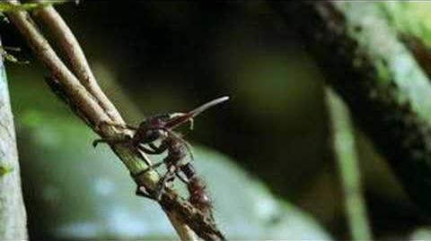 Hongo parasito llamado Cordyceps