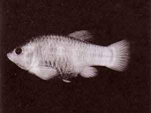 300px-Tecopa-pupfish