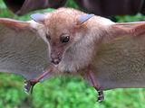 Murciélago nectívoro de nariz larga