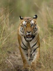 2901090458 tigre bengala 3 thl