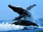 Baleines006