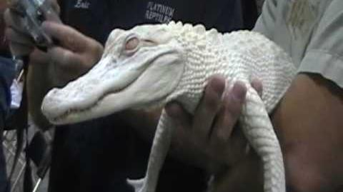 Tampa Reptile Show - Albino Alligators! - September 27&28 2008