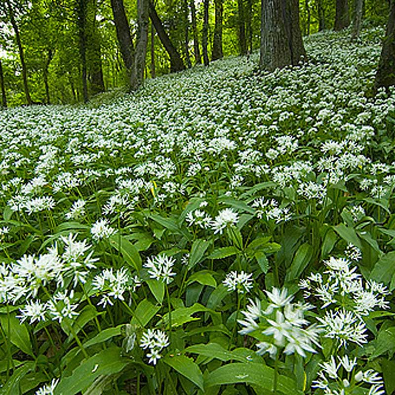 Image - Ail-des-ours-fleur.jpg   Wiki Accord'Obiou ...