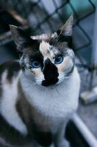 Valais the Calico Kitten