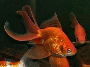 GoldfishIRL