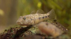 FreshwaterGobyIRL