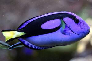 SurgeonfishIRL