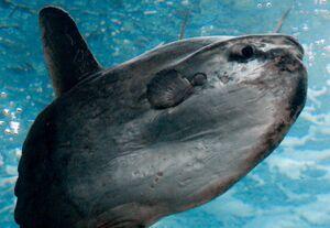 SunfishIRL