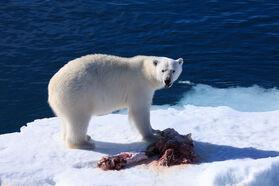 PolarBearHunting (3)