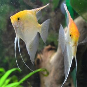 Imagen escalar gold wiki acuariofilia for Pez escalar enfermedades