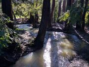 Adobe Creek in Los Altos Redwood Grove