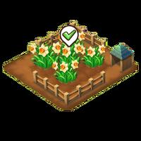 Daffodils harvest