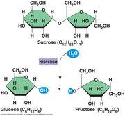 Hydrolysis.sucrose